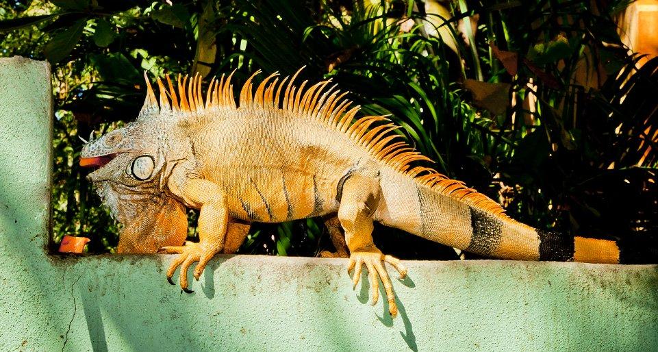 Iguanalita