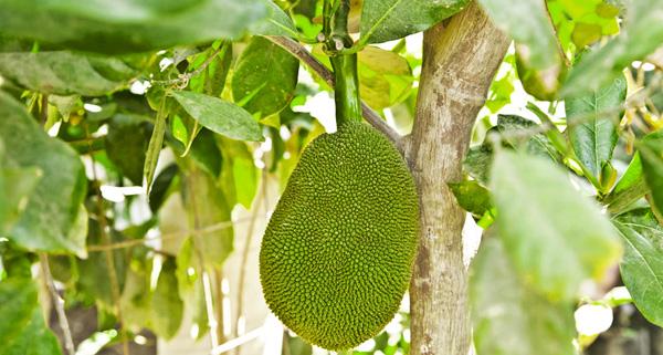 sayulita-jackfruit-01