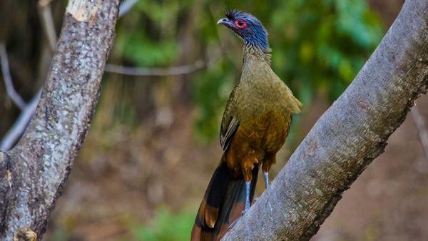 -en-the-chachalaca-our-noisiest-local-bird-es-chachalaca-nuestra-ave-ms-ruidosa-