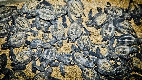 -en-a-horde-of-baby-turtles-ready-to-head-to-sea-es-una-horda-de-tortugas-camino-al-mar-