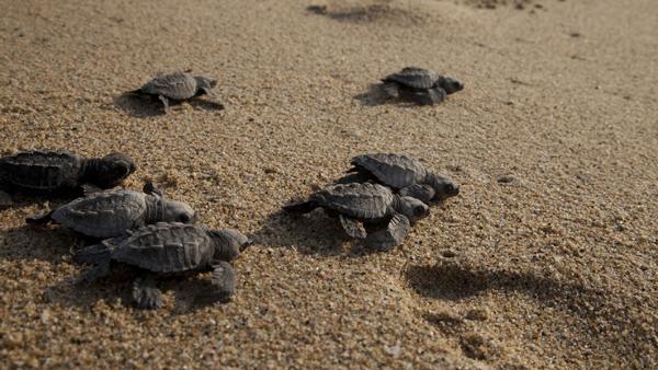 -en-turtles-on-the-move-seawards-es-tortugas-movindose-hacia-el-mar-