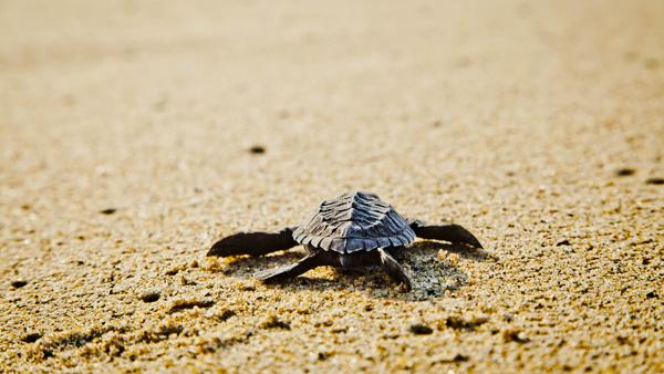 -en-its-a-long-ways-but-the-baby-turtles-usually-make-it-es-tortuga-arrastrndose-por-primera-vez-al-mar-