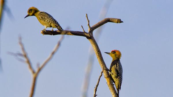 -en-golden-cheeked-woodpeckers-in-a-dead-tree-in-sayulita-es-carpinteros-cariamarillos-en-un-rbol-muerto-