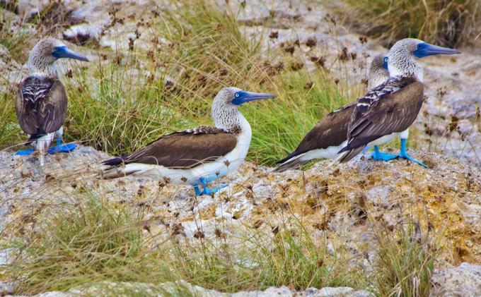 -en-blue-footed-boobies-with-their-amazing-bright-blue-feet-es-piqueros-patiazules-con-sus-increbles-pies-azules-