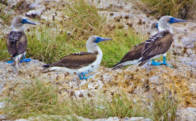 -en-rare-blue-footed-boobies-in-the-marietas-islands-es-piqueros-patiazules-en-la-marietas-