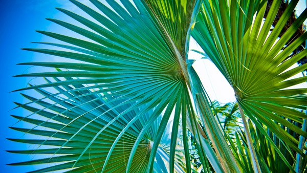 -en-palm-fronds-form-an-abstract-composition-es-frondas-de-palmas-forman-una-composicin-abstracta-