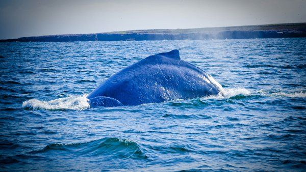 -en-a-humpback-whale-rising-between-the-marietas-islands-es-ballena-jorobada-emergiendo-entre-las-marietas-