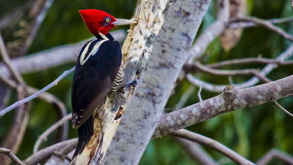 -en-a-lineated-woodpecker-looking-for-lunch-es-un-carpintero-lineado-buscando-alimento-