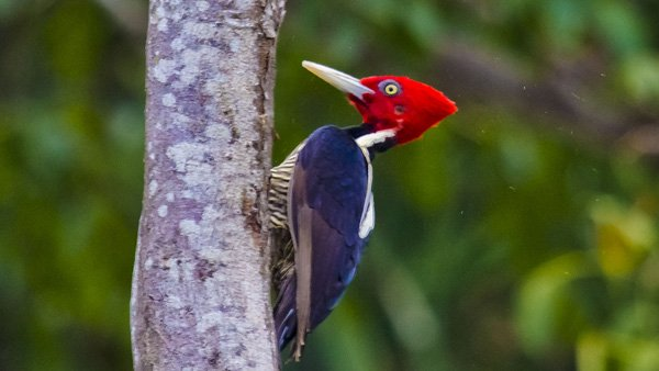 -en-a-lineated-woodpecker-dining-on-a-dead-tree-trunk-es-carpintero-cresta-roja-comiendo-de-un-tronco-muerto-